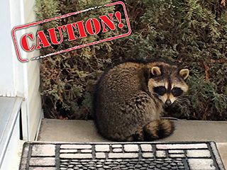 CautionRaccoon
