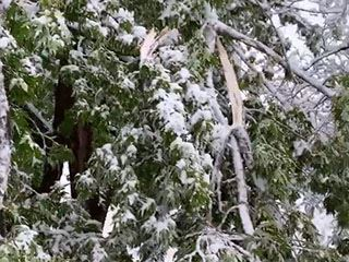 Snowstorm-damaged trees