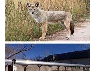 coyote-news-flash